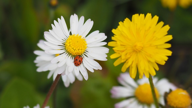 resistance poetry - Daisies and Dandelions